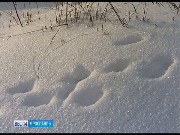 В Большесельском районе зарегистрирован первый в этом году случай бешенства