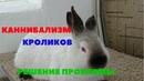 Крольчиха съедает крольчат, отгрызает уши. Каннибализм кроликов