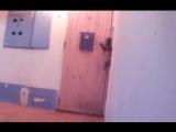 Кошка звонит в дверной звонок, чтобы пустили домой