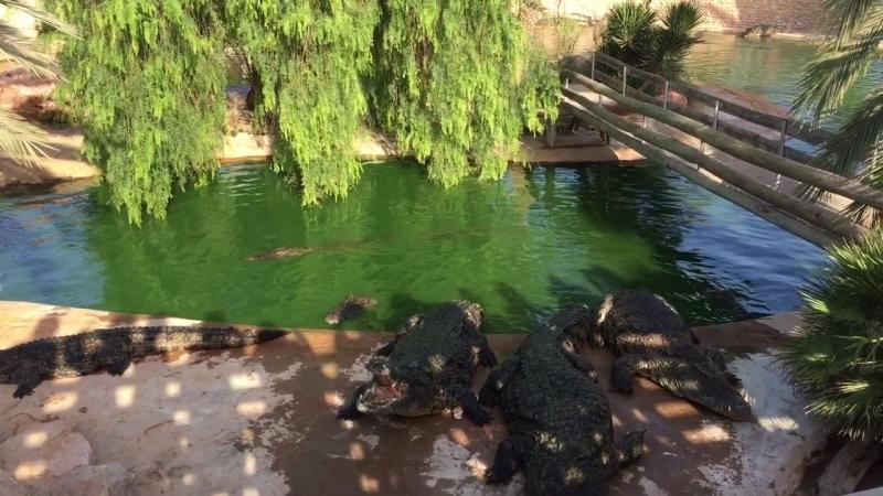 Кормление крокодилов в Джербе