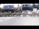 Старшие гуси контролируют процесс перехода через дорогу всей группы ...