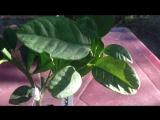 Дерево-сад (апельсин Тарокко+лимон Новозеландский)