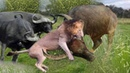 OMG Herd Buffalo Chase Lion and destroy King Lion to rescue his Member