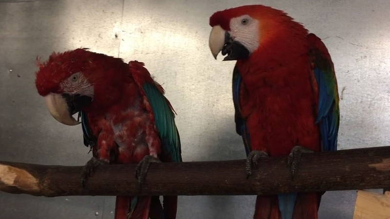 """Zazus House Parrot Sanctuary on Instagram """"Conversations with Mr. Crackers Willy part XVIII crackersdance 🕺🏻greenwingmacaw scarletmacaw sci..."""