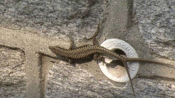 Большинство ящериц способны, в случае опасности, отбрасывать хвост (автотомия). Сокращая хрящевые мышцы в основании хвоста ящерица отбрасывает хвост и отращивает его заново. Во время