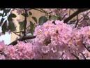 Декоративные Цветущие Деревья Муравьиное дерево