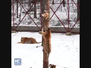А вы знали, что тигры умеют лазать по деревьям?
