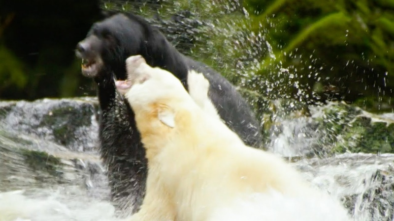 White Mother Bear Fights Against Bigger Male For Territory | Natura World Ghost Bear | BBC Earth