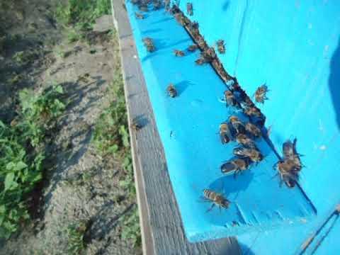 Трутень вон из домаИли как пчелы выгоняют трутней