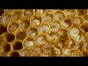 Пчелы (Сбор трутневого молочка)