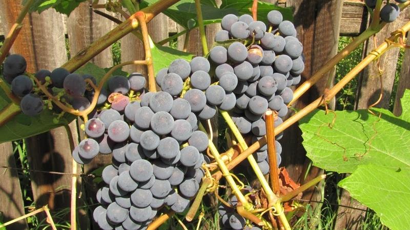 Зимостойкий неукрывной виноград - это соки и домашнее вино
