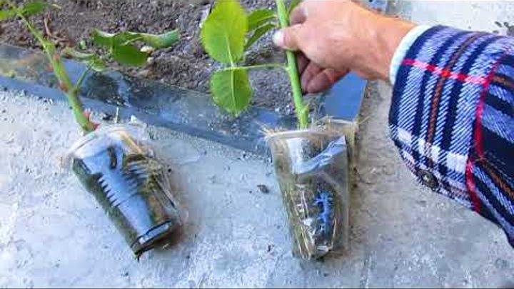 Как вырастить розу своими руками. Высадка воздушных отводок роз. Как подготовить их к посадке.