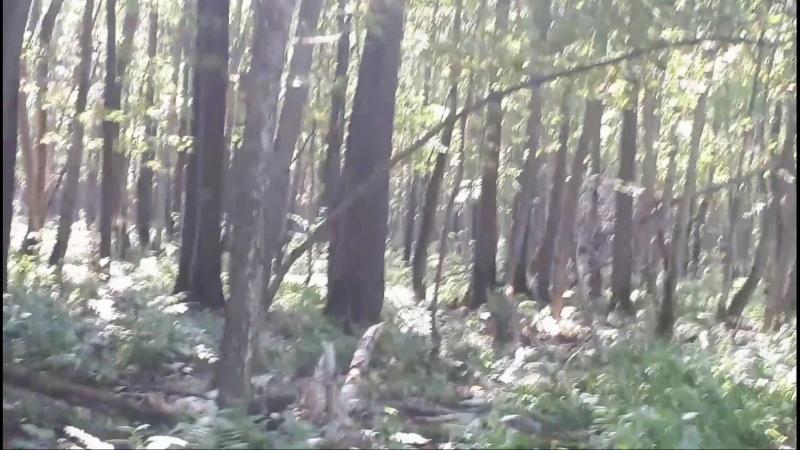 Косуля в лесу