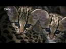 Nat Geo Wild Большие кошки Удивительная семья. Часть 1 Рождение семьи