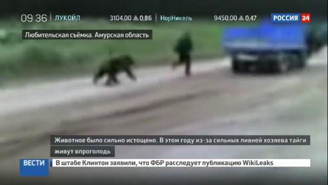 Новости на Россия 24 • В Приамурье медведи тянутся к людям