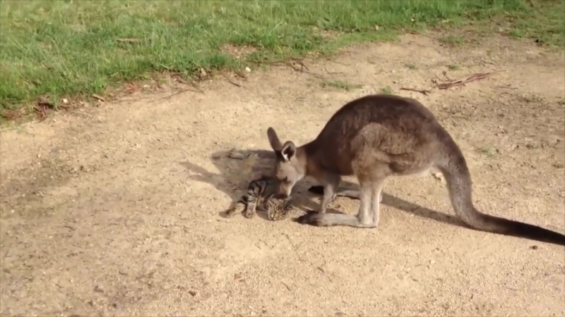 Kangaroo Tries Saying Sorry to Cat (Storyful, Cute)