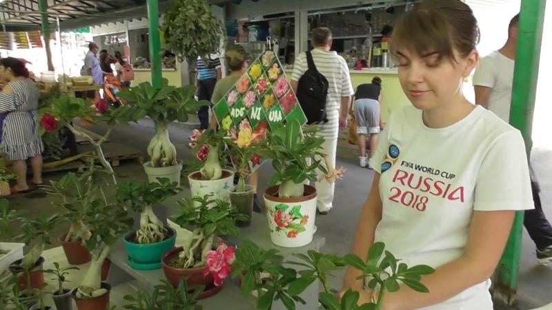 На центральном рынке Адлера как на базаре Адениум как ухаживать за цветком родом из Таиланда