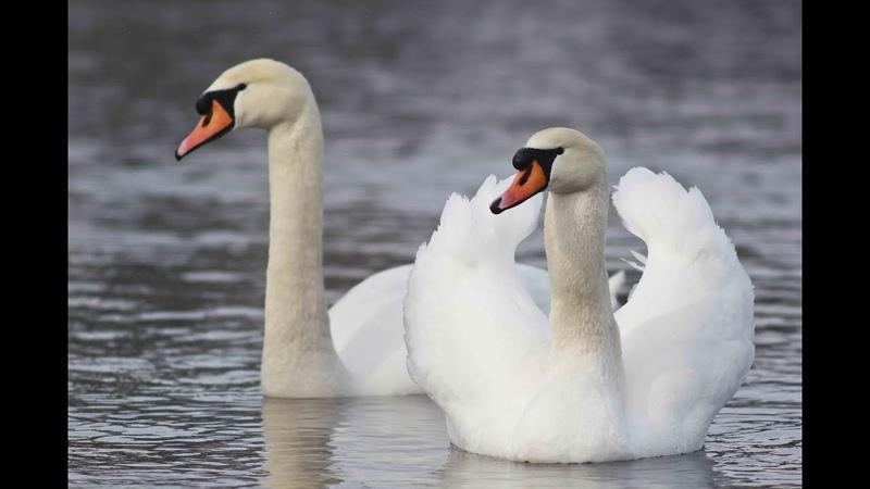 Лебідь-шипун. Mute swan. Cygnus olor. Новоград-Волинський