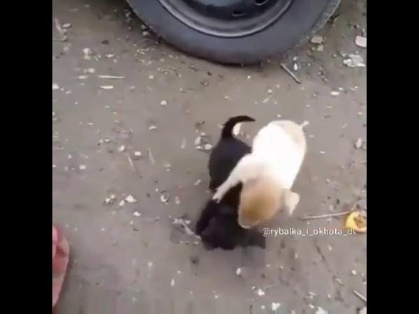 Бой кабана и собаки 2018