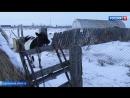 Фермер невиновен дело о шпионском GPS-маячке для коровы закрыто