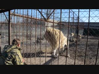 Белоснежный Рокки превратился в шикарного льва ,а Миледи в прекрасную львицу !