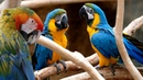 4K HDR Video Beautiful Parrots Scarlet Macaws