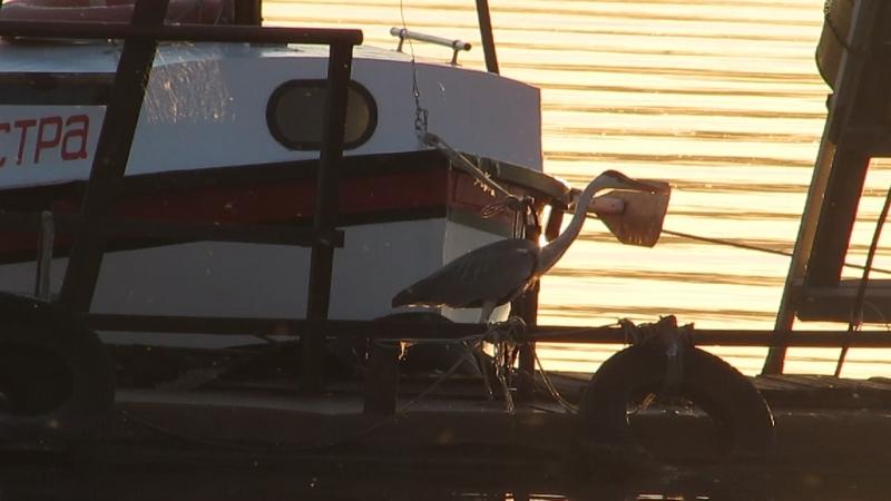 Вечерний променад цапли по пантонам нашей лодочной
