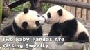 Two Baby Pandas Are Kissing Sweetly   iPanda