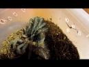 Линька lasiodora parahybana