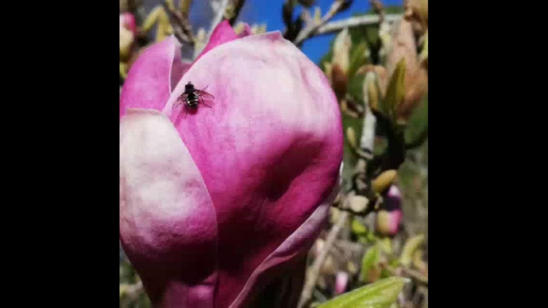 Garden of magnolias in the Queens Park.mp4