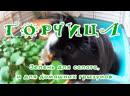 Горцича зелень для салата и для домашних грызунов