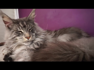 BEAUTIFUL BIG MAINE COON CAT Hélios.SO CUTE GIANT GENTLE Cat breed