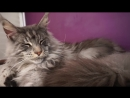 BEAUTIFUL BIG MAINE COON CAT Hé CUTE GIANT GENTLE Cat breed