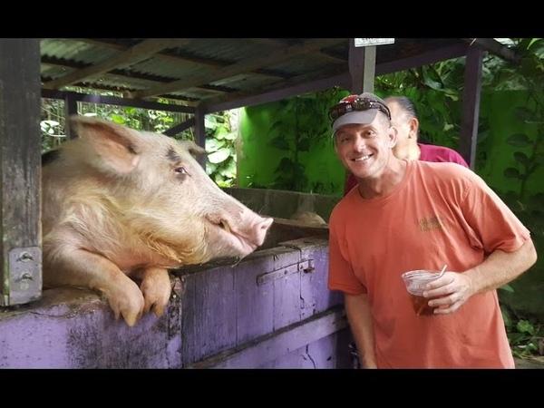 PIGS WHO DRINK BEER - Saint Croix