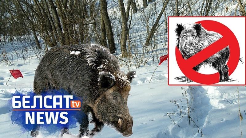 Свіная чума – расейская дыверсія?   Свіная чума – московитская диверсия? <Белсат>