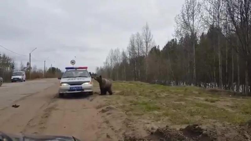Печорский медведь решил поинтересоваться о причинах гонений полиции на его сородича. Судя по новостям, медведи там куролесят уже