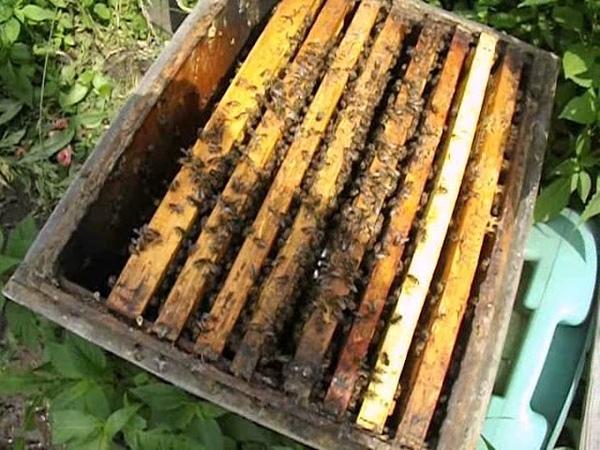 подсадка плодной матки через сетчатый колпачок - смена матки в семье пчел