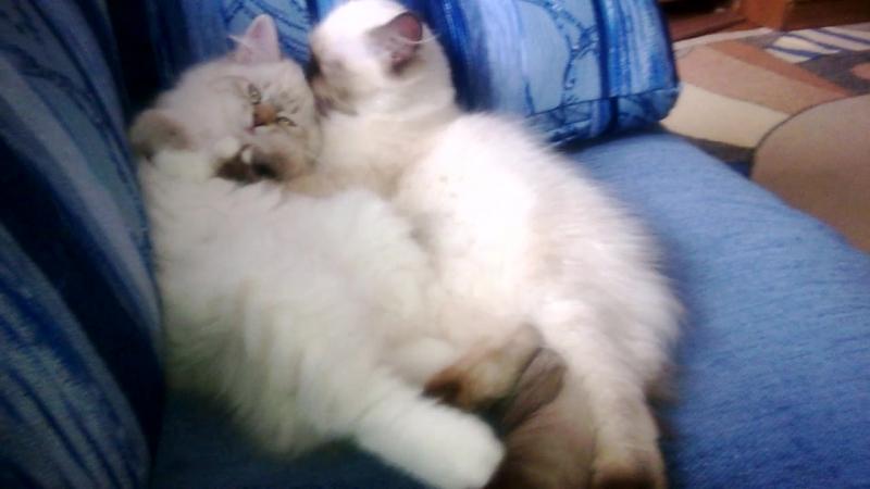 Невские маскарадные котята. Питомник ICE PALACE. Помет А.