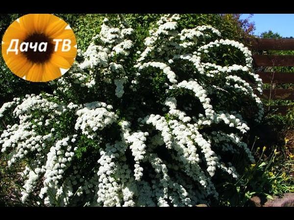 Как размножать растения Зеленое черенкование спиреи Дача ТВ