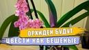 Орхидея фаленопсис Секреты от этого орхидеи будут расти как бешеные появятся корни цветонос лист