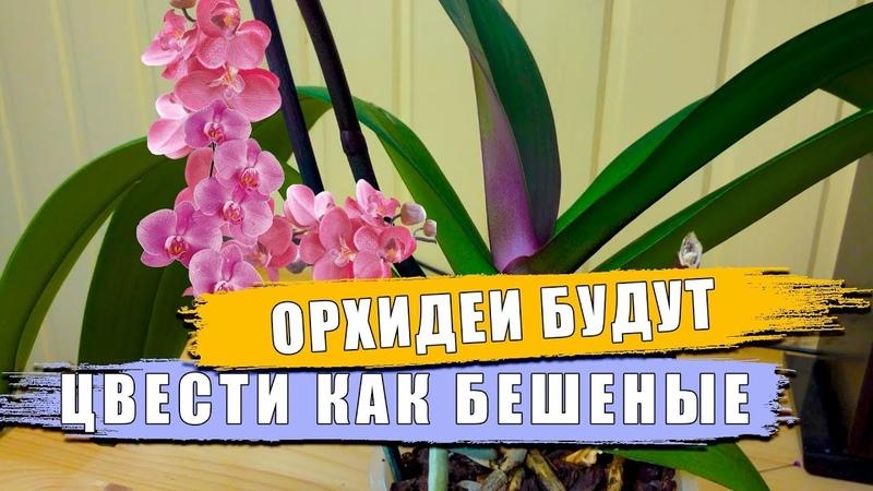 Орхидея фаленопсис. Секреты от этого орхидеи будут расти как бешеные, появятся корни, цветонос, лист