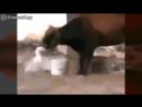 Корова отбивается от гуся
