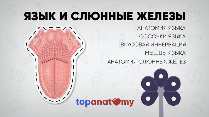 Язык и слюнные железы