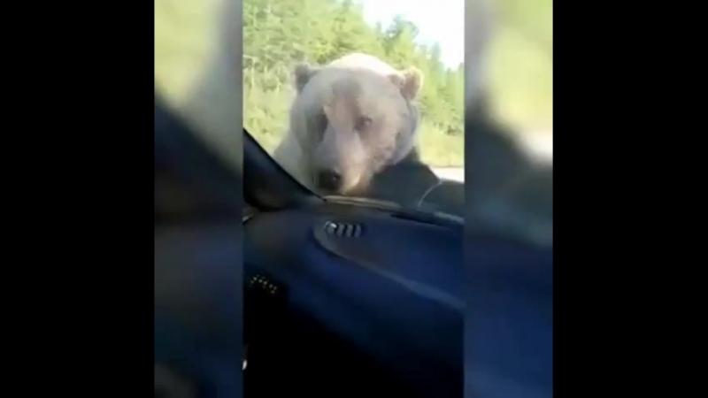 Медведь хочет сесть в машину и сгореть