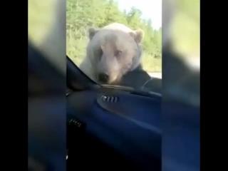 Медведь пытается сесть в машину и сгореть