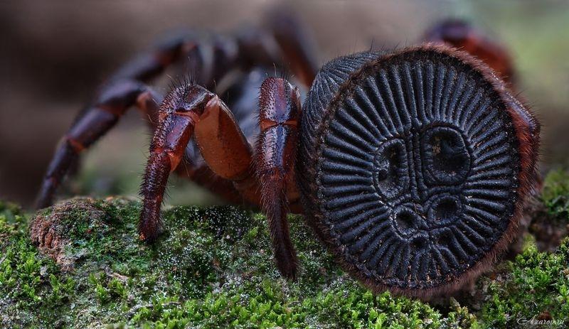Вид пауков с печатью древнего Бога на попе