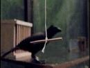 Тем, кто не верит, что ворон одна из умнейших птиц на планете