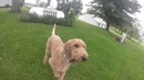 Big Goldendoodle Playing Fetch