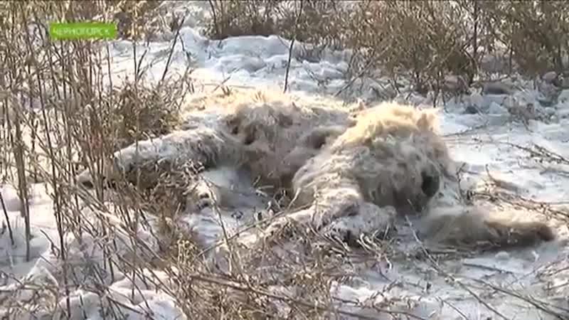 Нападение собак в Черногорске