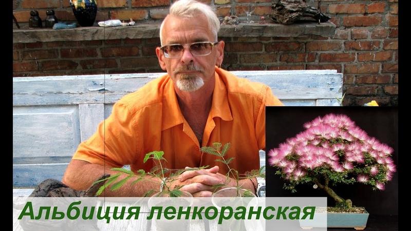 Альбиция ленкоранская - дерево пионер